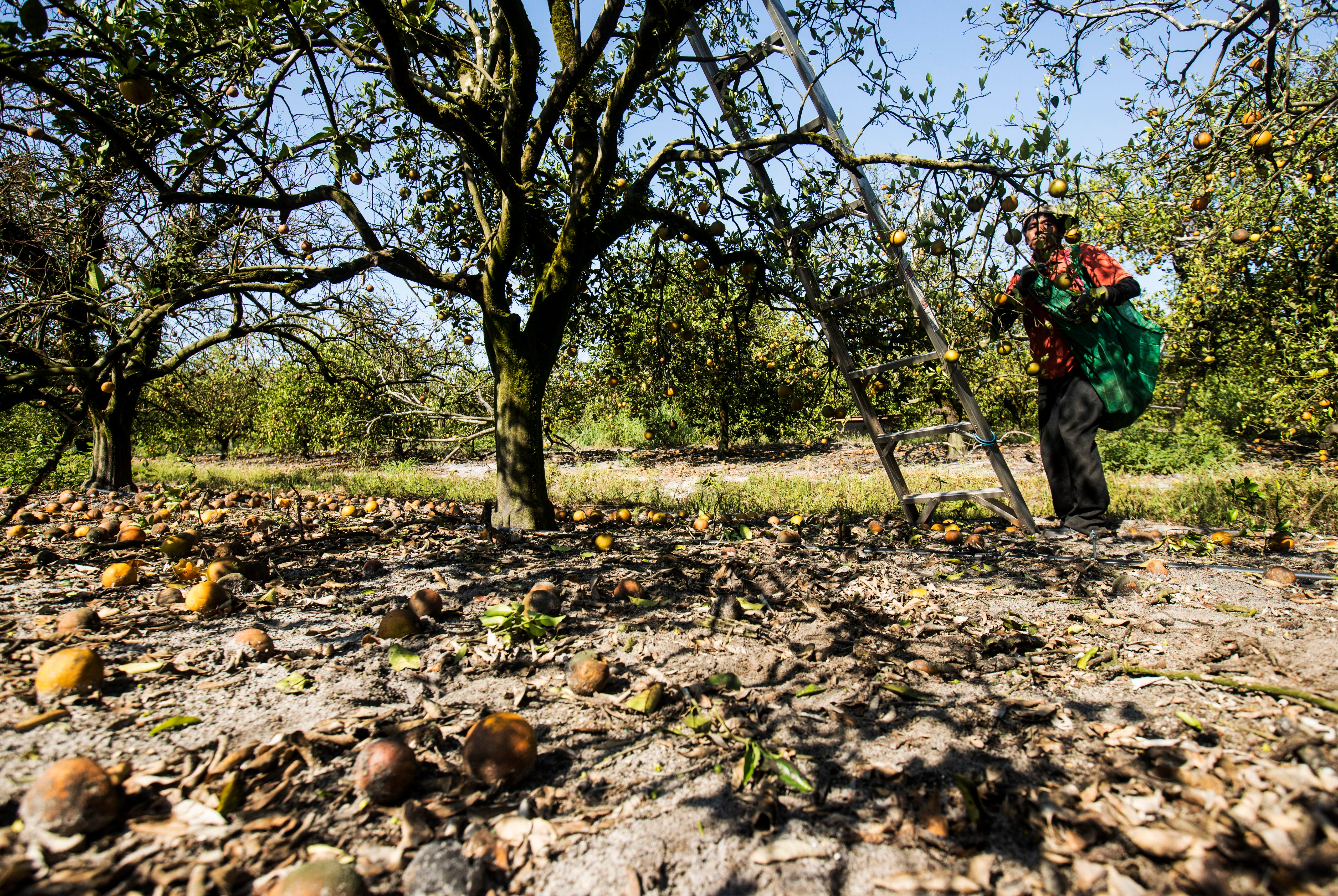 Francisco Hernandez, one of many orange pickers on temporary agricultural worker visas, harvests oranges at George Winslow's grove in Hendry County, Florida, on Monday, April 27, 2020. The workers are paid more for picking more, so they suffer income loss when fruit drops too.