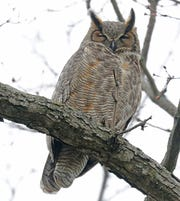 An adult great horned owl sits on a tree.