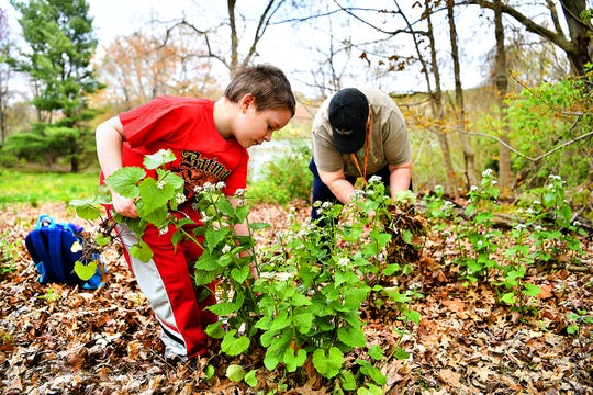 Aydan Looker, 6, front, helps his grandmother, Wendy Looker, of Hanover, to pull garlic mustard, an invasive plant, while learning at Codorus State Park in Codorus Township, Saturday, April 25, 2020.  Dawn J. Sagert photo