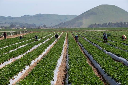 Trabajadores agrícolas son fotografiados mientras recogen fresas, el sábado 25 de abril de 2020. Residentes de la comunidad del condado de Monterey formaron la Salinas Farmworker Appreciation Caravan para mostrar su admiración y respeto por todos los trabajadores agrícolas que siguen trabajando durante esta pandemia.