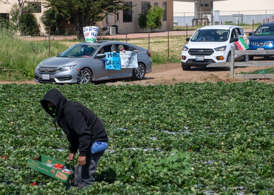 A fieldworker picks strawberries as a caravan of cars passes by with signs and honks showing their appreciation for the essential workers in the fields on Saturday, April 25, 2020.
