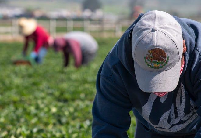 Un trabajador del campo usa su sombrero para protegerse la cara del sol mientras recoge fresas el sábado 25 de abril de 2020.