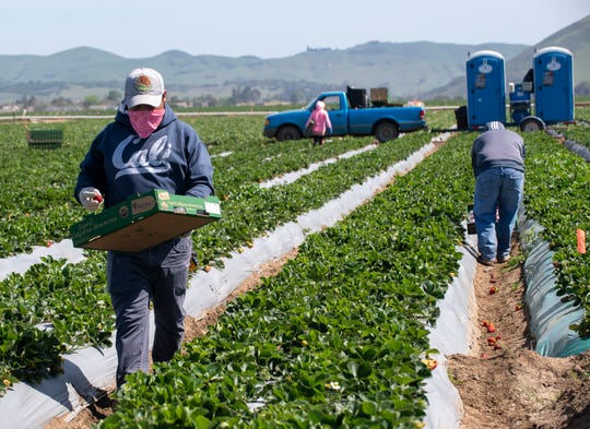 A fieldworker wearing a hat with the golden eagle, the official bird of Mexico, as he uses it to shield his face from the sun while he picks strawberries on Saturday, April 25, 2020.