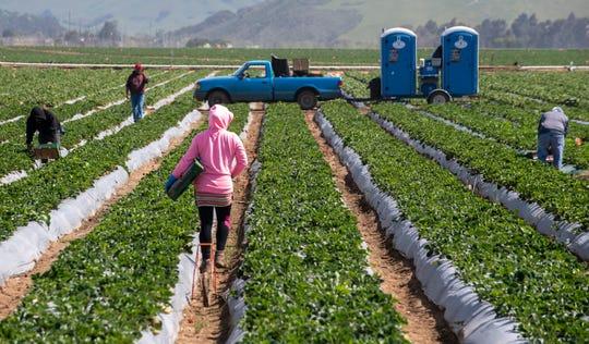 Una trabajadora agrícola de sudadera rosa camina entre los campos de fresas, el sábado 25 de abril del 2020.