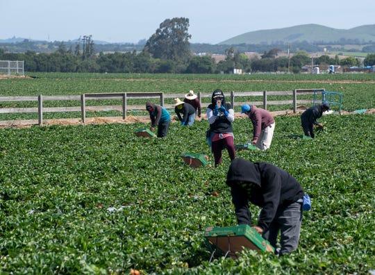 Un trabajador del campo hace una pausa para grabar la caravana de autos durante la Salinas Farmworker Appreciation Caravan, el sábado 25 de abril de 2020.