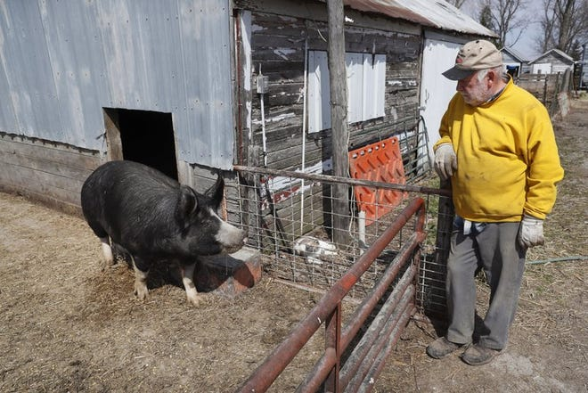 Chris Petersen looks at a Berkshire hog in a pen on his farm near Clear Lake, IA. COVID-19, the disease caused by the coronavirus, has created problems for all meat producers, but pork farmers have been hit especially hard.
