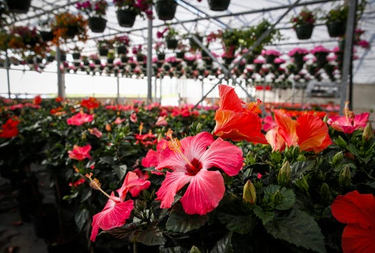 Hibiscus flowers bloom inside Goode Greenhouse in Des Moines on Wednesday, April 29, 2020.
