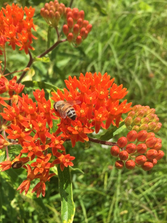 Asclepias tuberosa (butterfly milkweed) is one of many native milkweeds that are excellent for supporting local pollinators including monarch butterflies