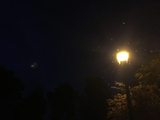 Formosan subterranean termite swarmers fly around a street light. There can be thousands around one light. They will be swarming from late April through June.
