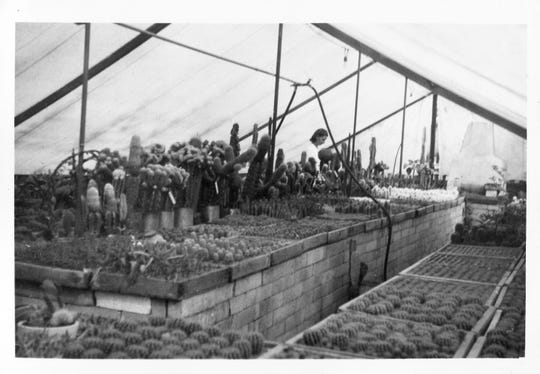From seed gathered from wild plants, Patricia Moorten grew flats of seedlings in their early endeavors for Moorten Botanical Garden in Palm Springs.