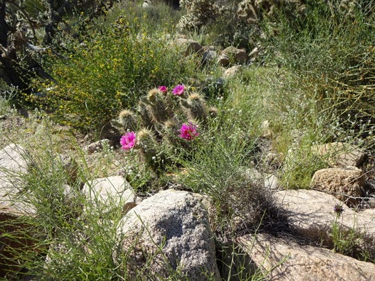 Rarely noticed, once in bloom these flowers jump out of the desert brush with jewel quality color.