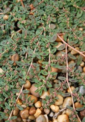 Spotted spurge's leaves have a non-symmetrical spot in the middle and is often found growing out of cracks in driveways and sidewalks.