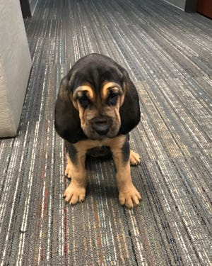 """Florida's Nassau County Sheriff's Office is asking for help naming two new """"team members"""" - bloodhound puppies."""