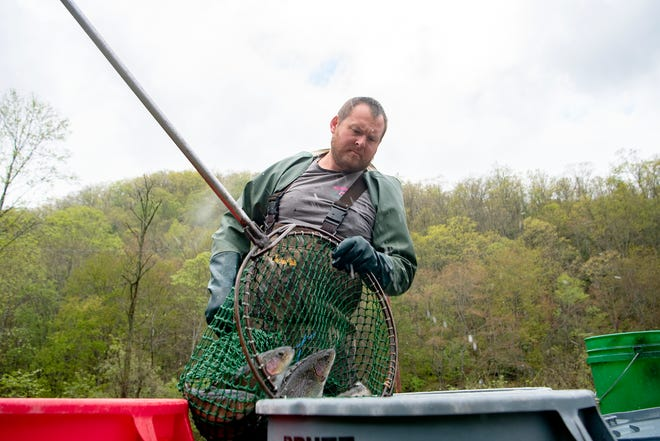 Sunburst Trout co-owner Ben Eason pours a net of fish into a barrel as he harvests at the company's farm in Canton on April 30, 2020.