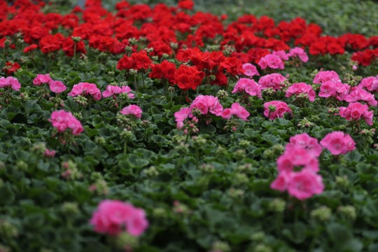 Zonal geraniums provide a welcome pop of spring color at Larry's Bellevue Gardens.