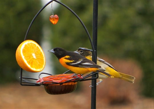 Baltimore orioles hang out on a feeder with half an orange.