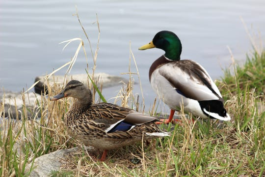 A female and male mallard sit along a body of water.