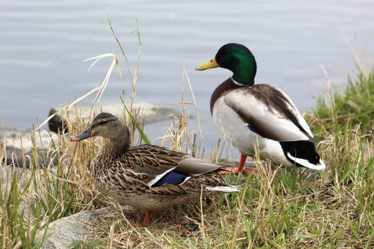 A female and male mallard sit along a body of water.