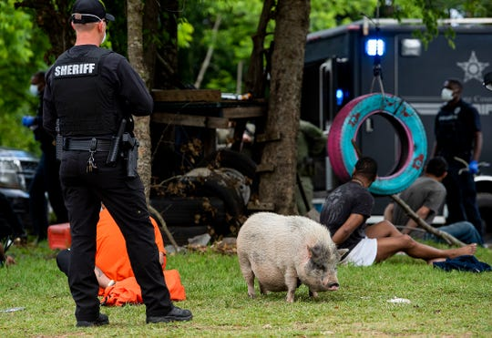 A pig wanders through as several people are detained as a multi department law enforcement raid is held on a farmhouse in Prattville, Ala., on Thursday morning April 30, 2020.