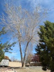 This cottonwood has co-dominant branches, which can create a weak union leading to decay.