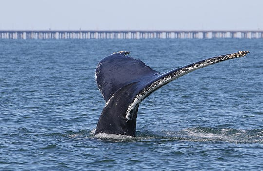 A humpback whale's tale emerges from the water with Virginia's Chesapeake Bay Bridge Tunnel in the background. (Photo collected under scientific research permit 21482 issued to Dan Englehaupt, HDR Inc. and submitted by Amy Englehaupt)