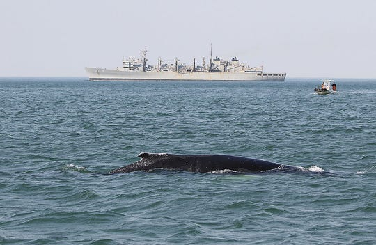 The Navy is funding humpback whale research at the mouth of the Chesapeake Bay to better understand how ship collisions with the large mammals can be avoided. (Photo collected under scientific research permit 16239 issued to Dan Englehaupt, HDR Inc. and submitted by Jessica Aschettino)