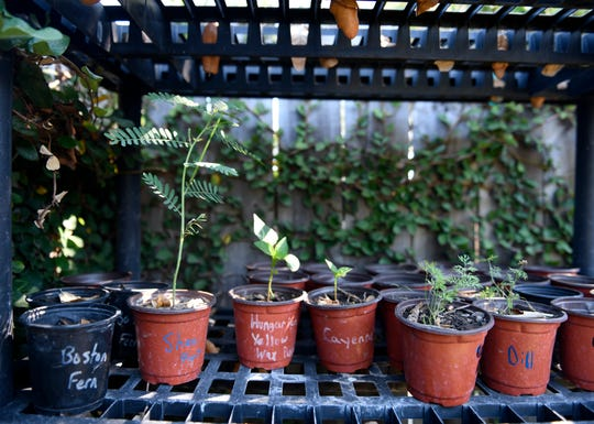 Young, potted plants are seen in the Ruiz's backyard, Thursday, April 30, 2020. Leo Ruiz's advice to beginning gardeners is to find mentors online in community Facebook groups.