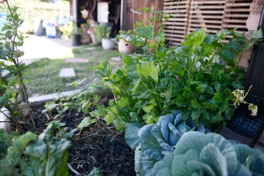 Cabbages and Swiss chard are planted in the Luis family garden, Thursday, April 30, 2020. Leo Ruiz started the garden as a hobby and answer to sustainability and now has expanded it to an online business.