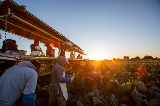 Farmers harvest Romanesco Cauliflower in Imperial Valley. Of a group of 29 farmers 22 had crossed from Mexicali, Mexico in the early hours of the morning to attend to the harvest.