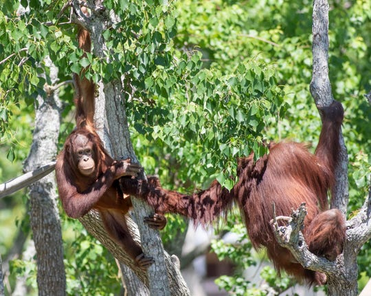 An orangutans at the Gulf Breeze Zoo on Thursday, April 30, 2020.  The zoo is planning on reopening while following CDC guidelines on Friday, May 1st.