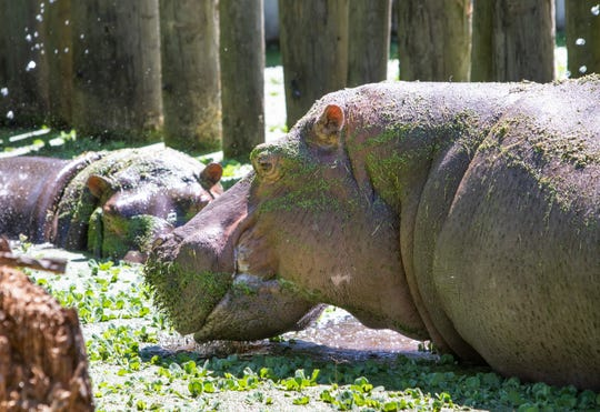 Kiboko, right, and Cleo in the new Hippo Encounter at the Gulf Breeze Zoo on Thursday, April 30, 2020.  The zoo is planning on reopening while following CDC guidelines on Friday, May 1st.