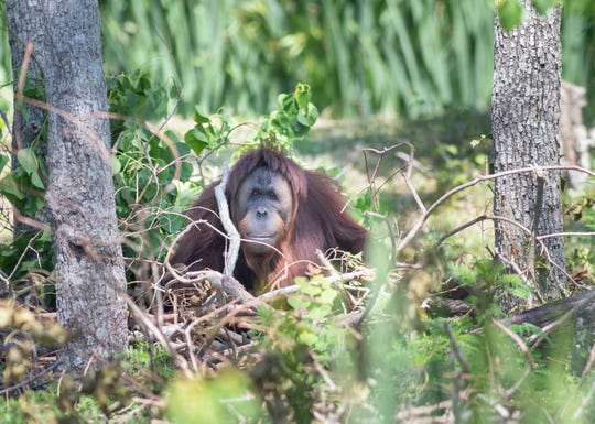 An orangutan named Maggie sits in a newly made nest at the Gulf Breeze Zoo on Thursday, April 30, 2020.  The zoo is planning on reopening while following CDC guidelines on Friday, May 1st.