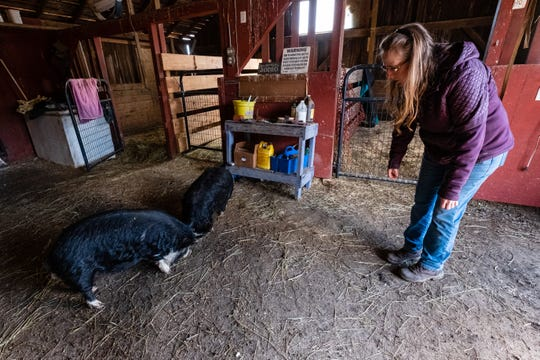 Lisa Ponke, owner of Day Dreams Farm, tries to get the attention of two Kunekune pigs Friday, May 1, 2020, in one of the barns on her Cottrellville farm. The two pigs were brought to her rescue after being found wandering through the streets of Port Huron.