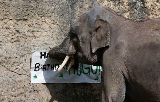 Hugo tears down a happy birthday sign during his 9th birthday celebration at the Dickerson Park Zoo on Friday, May 1, 2020.