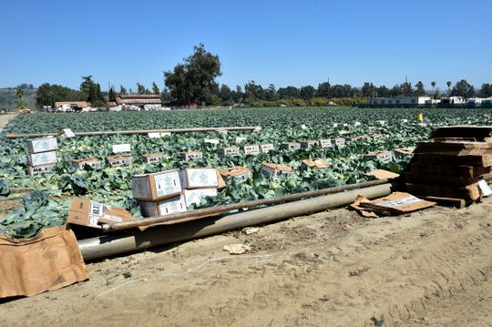 Cabbage is being harvested on land in Somis, where a farmworker housing project is being proposed. The land is in an unincorporated area near Rancho Campana High School in Camarillo.