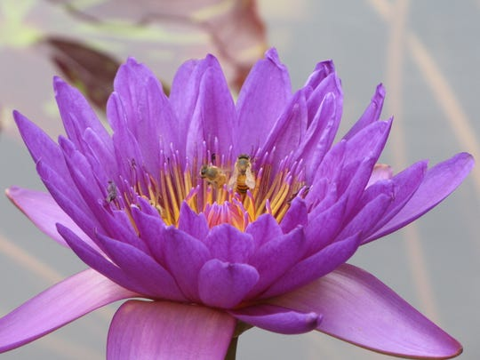 Bees walk on a water lily.