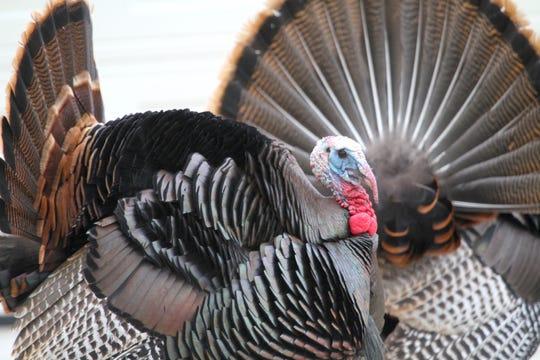 Tom turkeys strut in Wauwatosa on May 2, 2020.