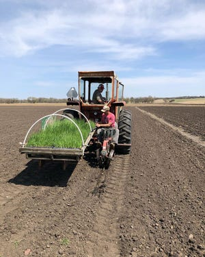 Marco Picasso plants onions at Cherry Rock Farms in Brandon on April 27, 2020.