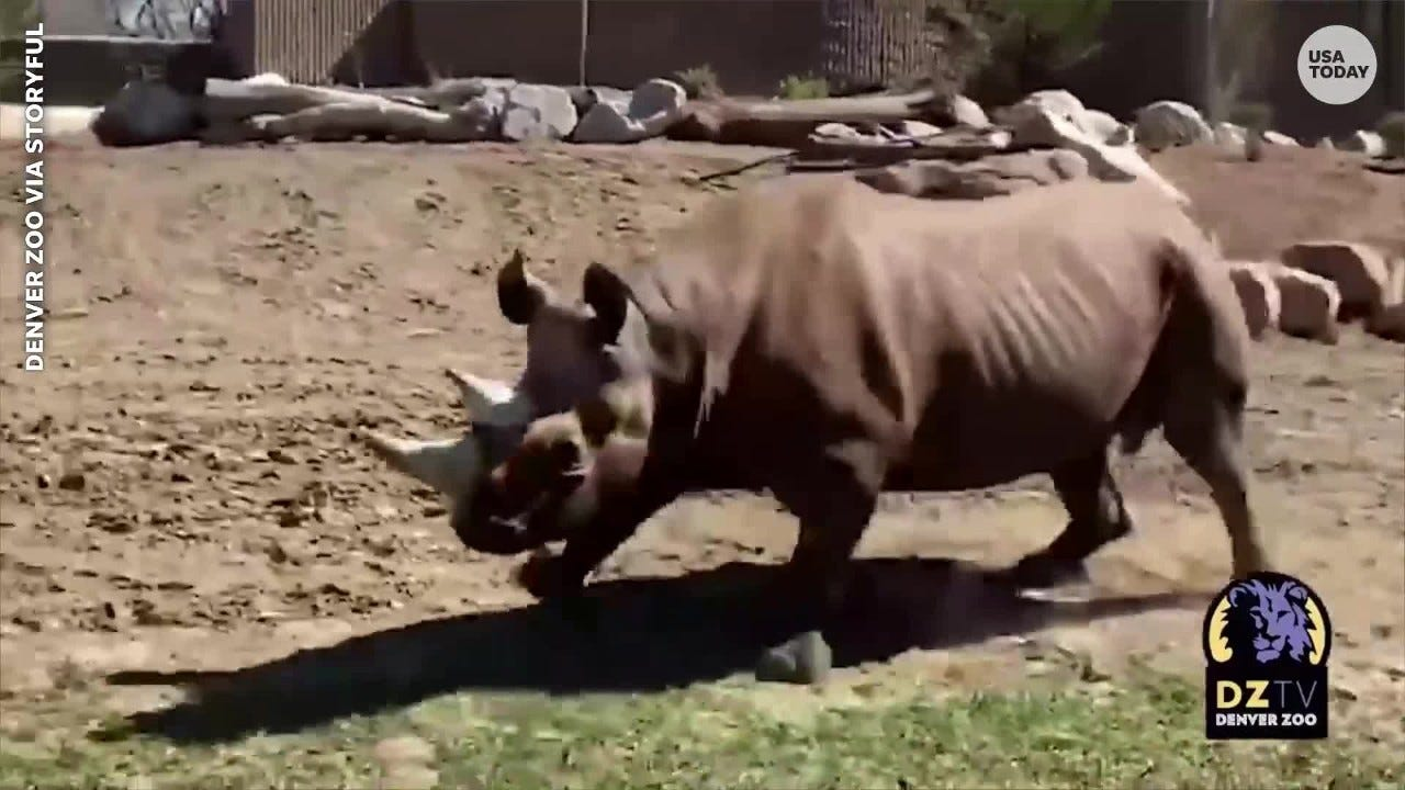 Denver Zoo s Rudy the rhino won t stop doing  zoomies  when no one is watching