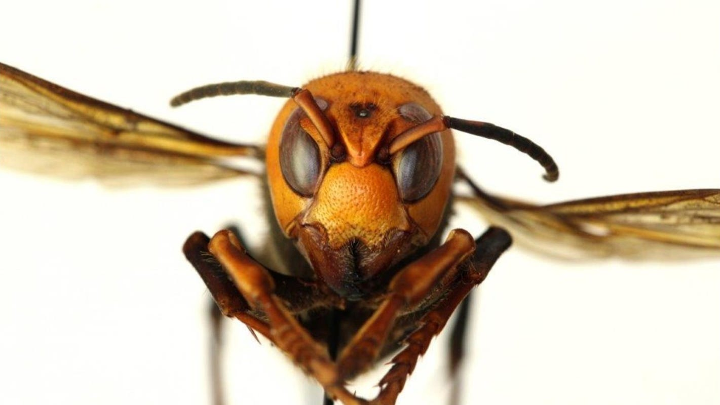 The first 'murder hornets' nest was found, already set to be obliterated