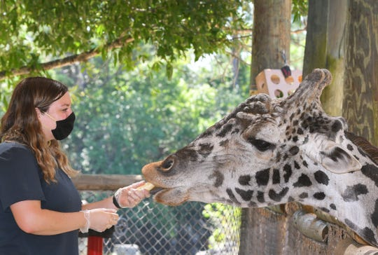 Nicole Day, zookeeper at the Africa exhibit, feeds Raffiki, the 21-year-old giraffe. Brevard Zoo in Viera needs donations to help feed about 900 animals. They estimate they need to raise $40,000 to feed them for two months. They are holding a Giving ZOOday for Tuesday, May 5.