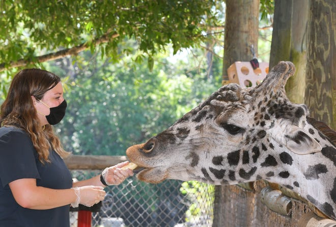 Nicole Day, a zookeeper at the Africa exhibit, feeds giraffe Rafiki at the Brevard Zoo in Viera, which could be receiving Coronavirus Aid, Reliefand Economic Security Act assistance from the county.
