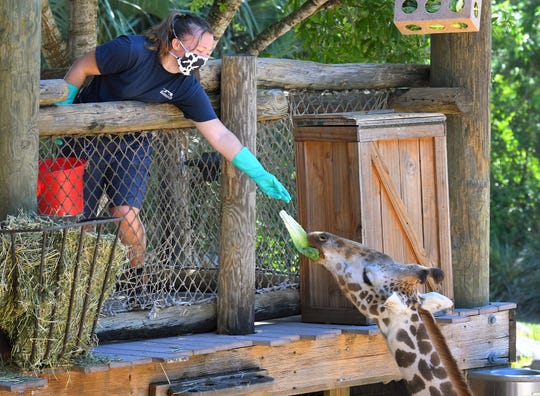 Jordan Marshall, zookeeper at the Africa exhibit, feeds Floyd. Brevard Zoo in Viera needs donations to help feed about 900 animals. They estimate they need to raise $40,000 to feed them for two months. They are holding a Giving ZOOday for Tuesday, May 5.