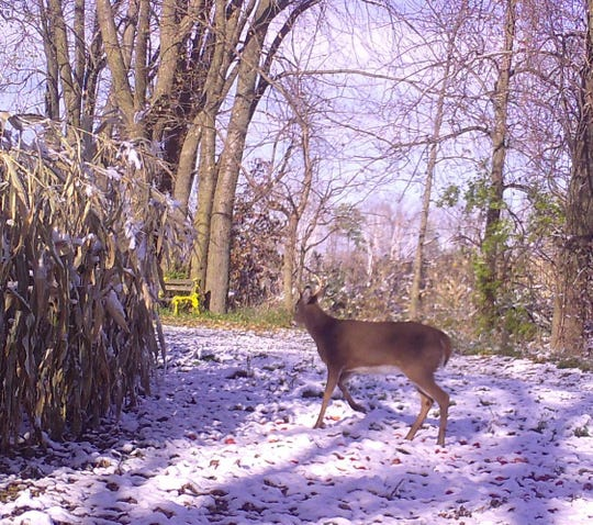 Earlier the camera caught this fellow walking through early morning snow.