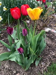 Was this clustered combination of odd fellows an accident? Purple Lady, Red Apeldoorn and Blushing Apeldoorn tulips came together in the Mary Lee's yard.