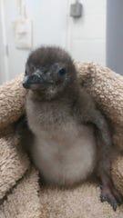 Meet Baby Blue at the Adventure Aquarium.