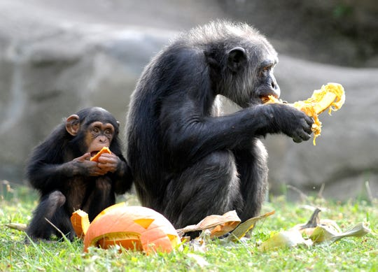 Animals like these chimpanzees at the Detroit Zoo in Royal Oak may be missing the regular attention of adoring human visitors.