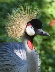 A Gray Crowned Crane is seen in this file photo from the Detroit Zoo in Royal Oak.