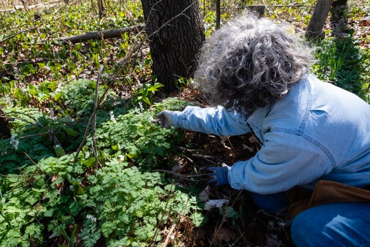 Master Gardener Jeanne Mackay shows a patch of Dutchman's Breeches growing in her yard Monday, May 4, 2020, in Fort Gratiot. Some experts are recommending people stuck at home during the quarantine to garden and landscape with plants native to Michigan, which offer ecological benefits for insects and the animals that eat them.