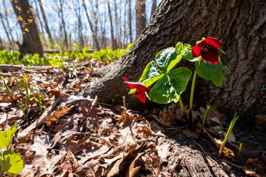 A flowering red trillium, photographed Monday, May 4, 2020, grows at the base of a tree in the yard of Master Gardener Jeanne Mackay. Some experts are recommending people stuck at home during the quarantine to garden and landscape with plants native to Michigan, which offer ecological benefits for insects and the animals that eat them.